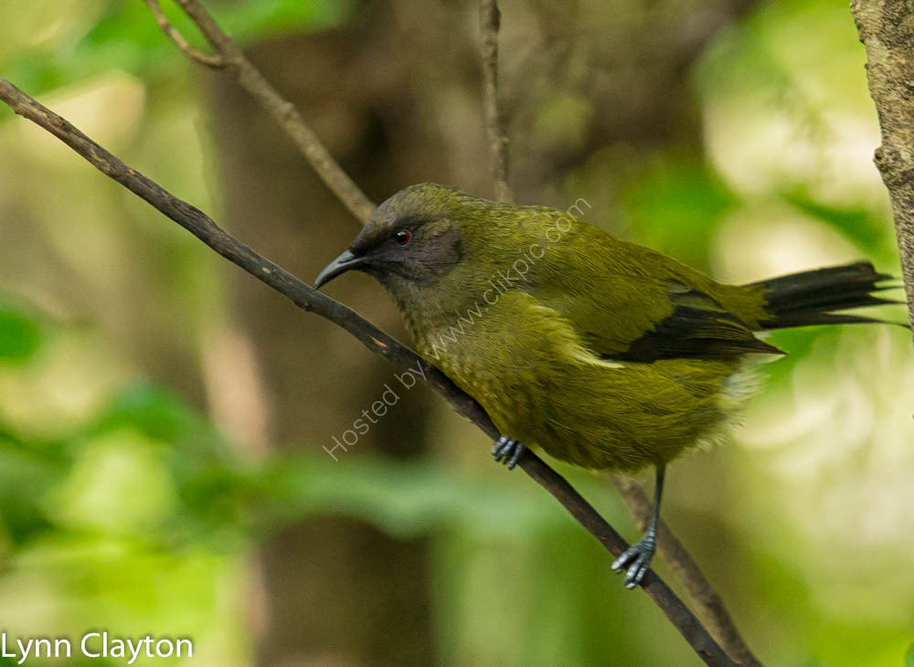 Bell Bird on tiri Island