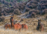 Kaimanawa Horses in Winter