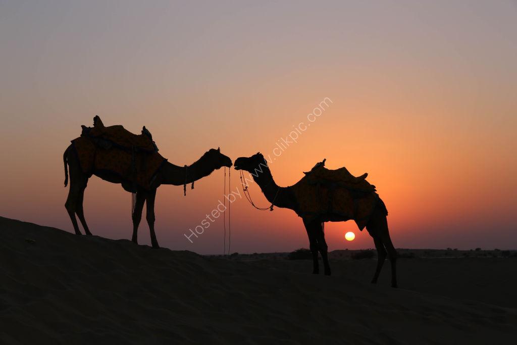 Camels at Sunset - Jaisalmer, India