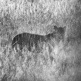 Leopard hiding in long grass - Serengeti