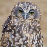 Moreporl Owl