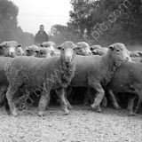 Merino Fine wool sheep