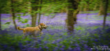 Molly In The Bluebells No07