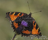 Small Tortoiseshell and Spider