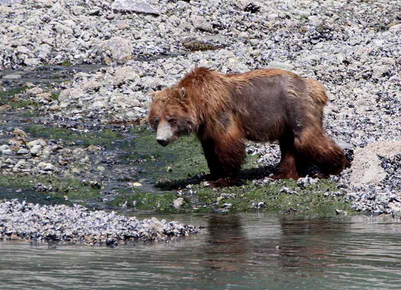Brown Bear (Grizzly) by shore