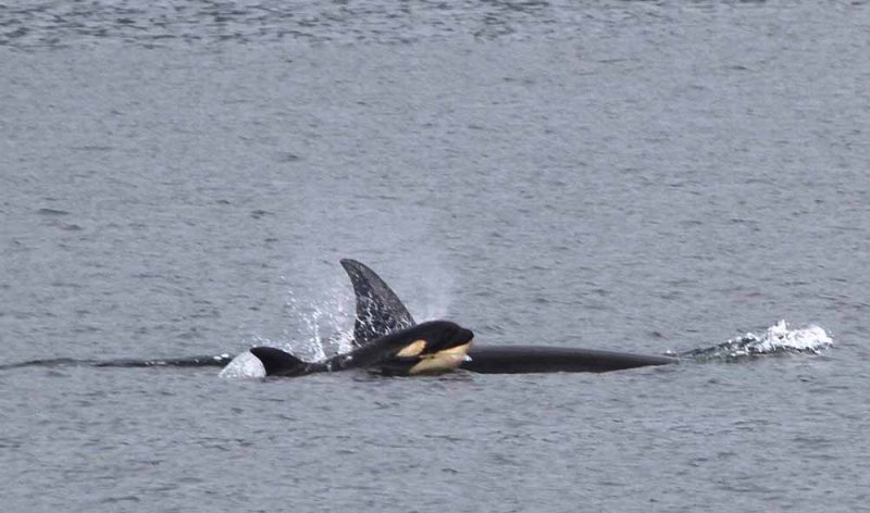 Killer whale with young calf