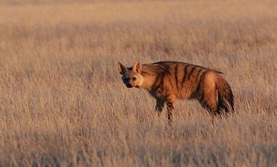 Rare sighting of Aardwolf at dusk