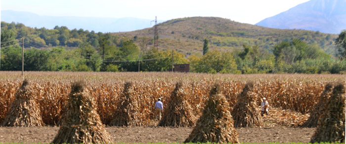 Farmers harvesting maize by hand : Albania