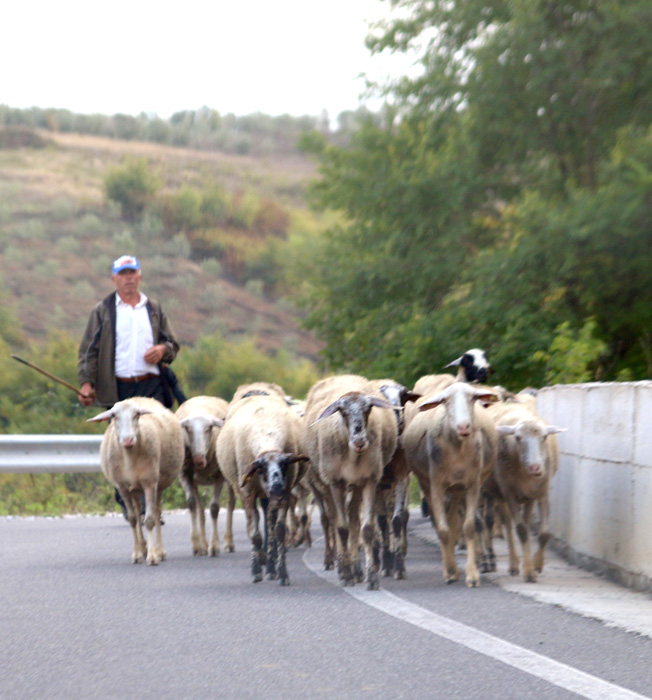 Shepherd & flock on motorway !  Albania