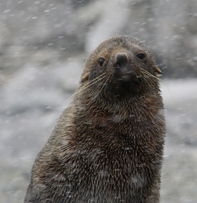 Antarctic Fur Seal in snowstorm