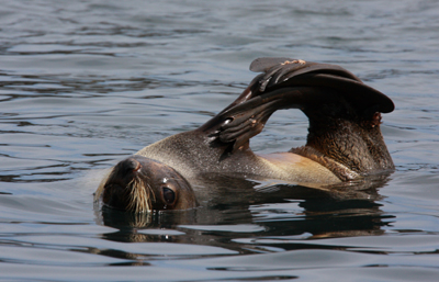 Fur Seal contortionist