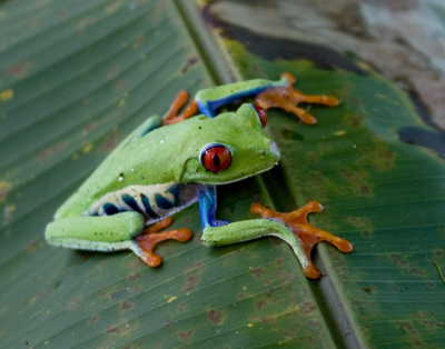 Red Eyed Gaudy Frog