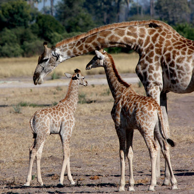 Giraffe + juvenile & infant