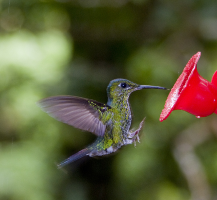 Emerald chested Hummingbird