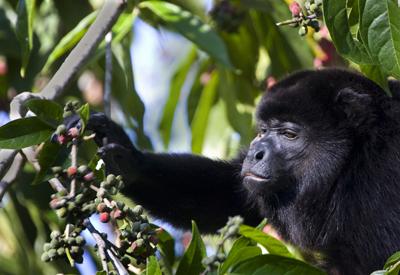Howler Monkey feeding