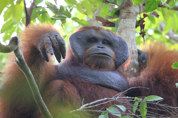 Young male adult Orangutan