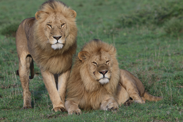 Two beautiful male lions