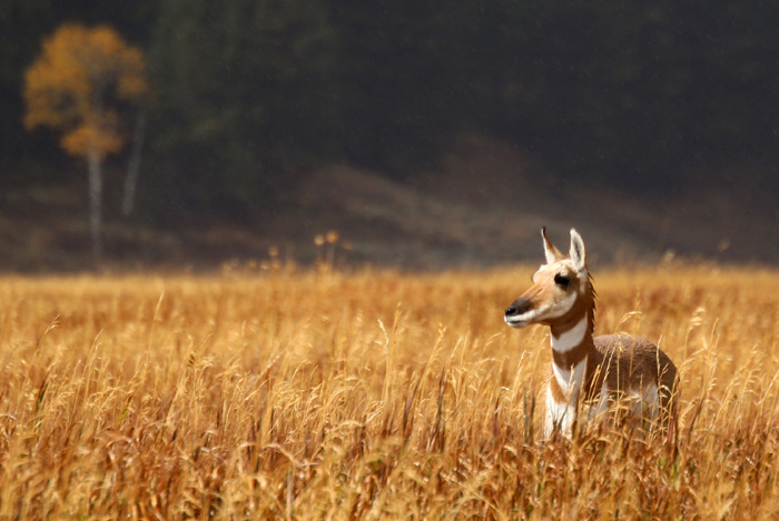 Female Pronghorn