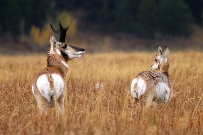 Pronghorn stag and female