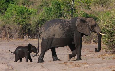 Newborn elephant with mother