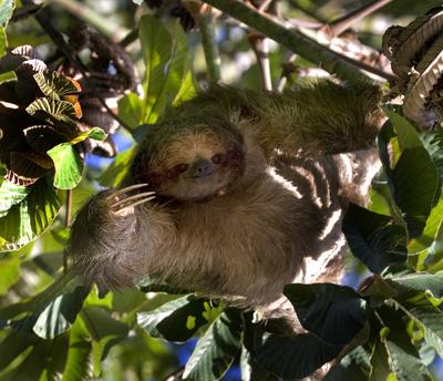 Sloth feeding