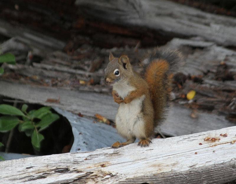 Red Squirrel, Wrangel St Elias Nat Park