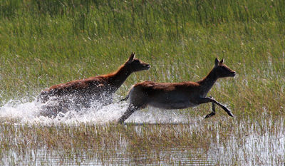 Lechwe galloping thro delta