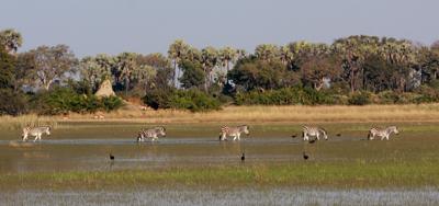 Zebra delta scene