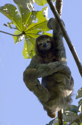 3 Toed sloth Taking it easy