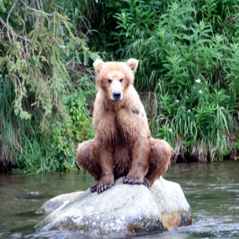 Juvenile (Sub adult) Bear