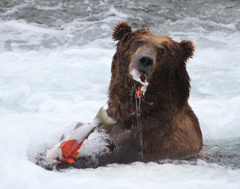 Brown Bear (Grizzly) Catching Salmon