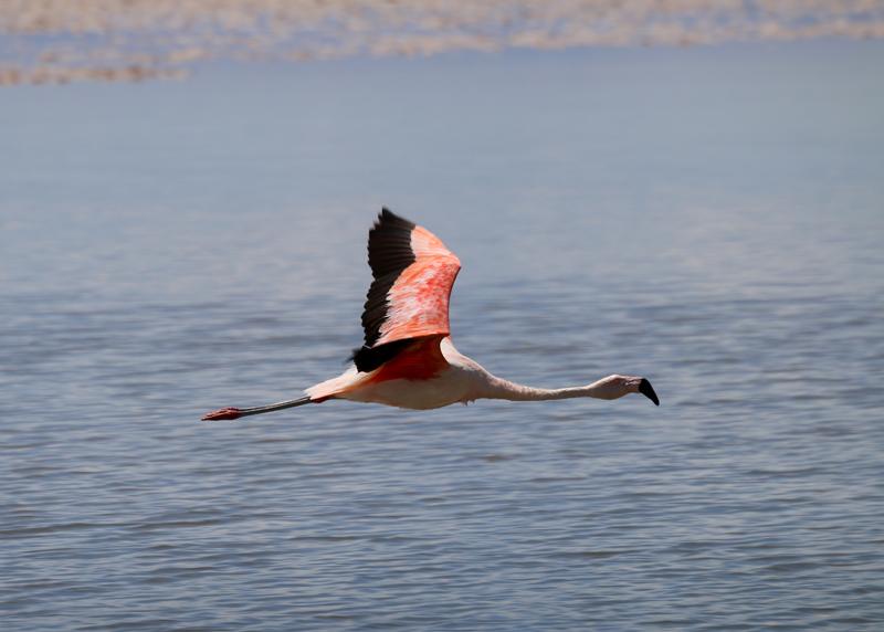 Chilean Flamingo on Laguna Chaxa