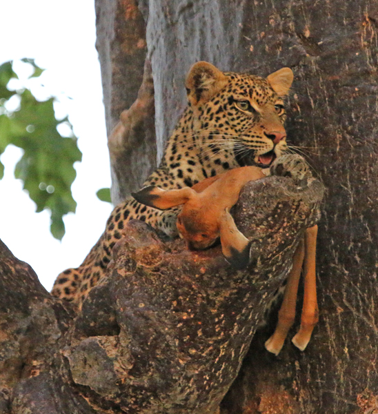 Leopard with young Grant's gazelle kill