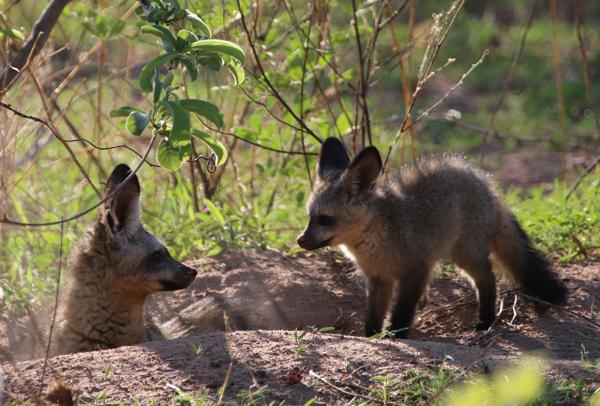 Bat Eared Fox with cub