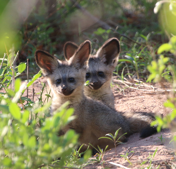 2 Bat Eared Fox cubs