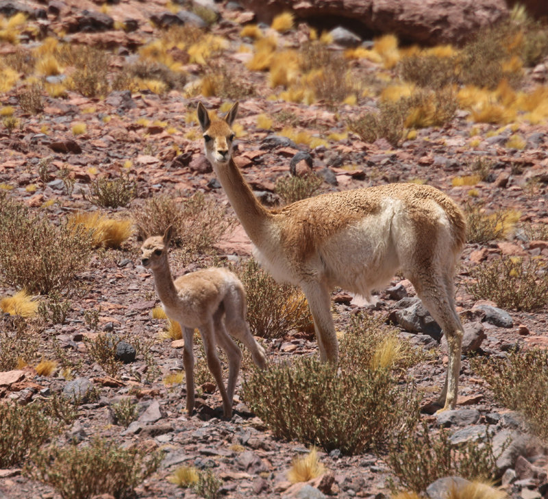 Vicuna & young