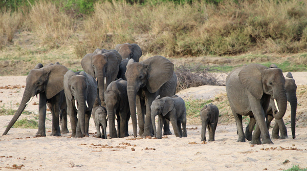 Herd of elephant with many young