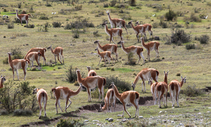 Herd of Guanacos grazing