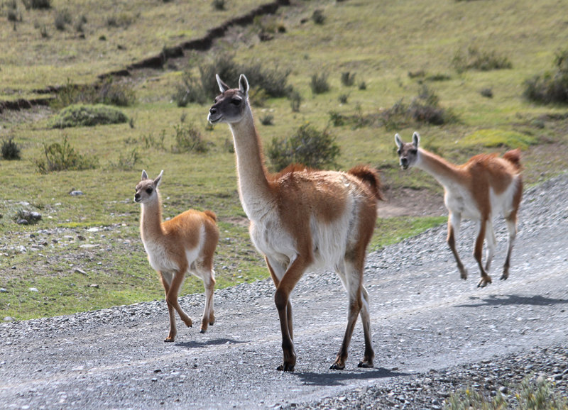 Guanaco and young
