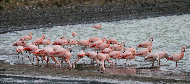 Chilean Flamingos - the southern most flock