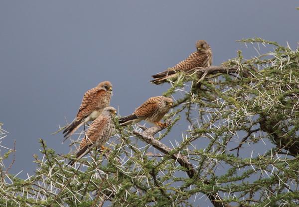 Migrating Lesser Kestrels