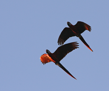 Scarlet Macaws flying over
