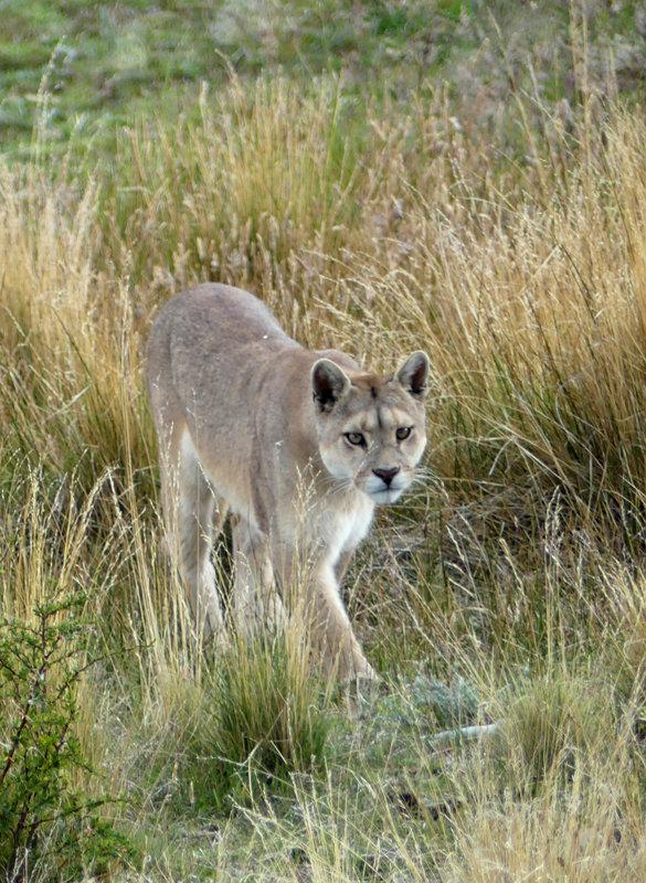 Puma slowly walking towards me. What a beautiful beast she was.