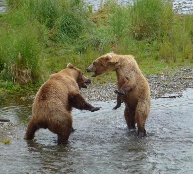 2 sub adult bears having a spat