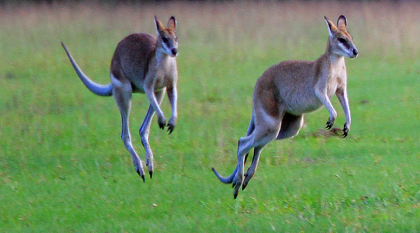 Grey  kangaroos - Queensland