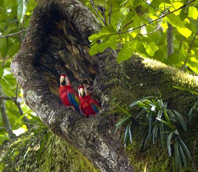Scarlet Macaws Nesting