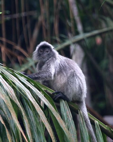 Silver leafed monkey