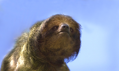 3 Toed Sloth portrait