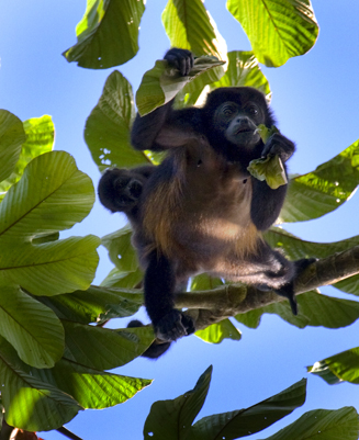 Howler monkey + infant