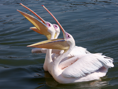 Pelicans : Walvis Bay